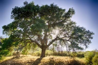 oak-tree-and-sun